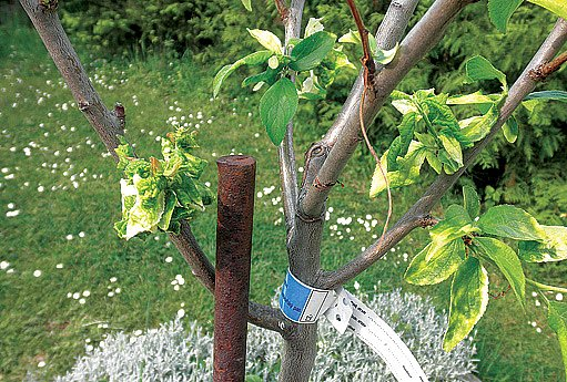 skrvny na listech způsobené zásahem herbicidu