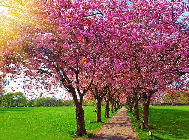 Alej kvetoucích švestkových stromů