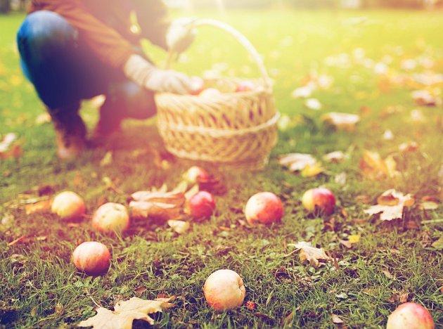 V polovině září sklízejte jablka.