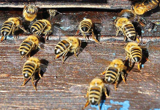 """Každá včela má svůj úkol - """"větračky"""" zajištují teplotní pohodu v úlu během horkých dní."""