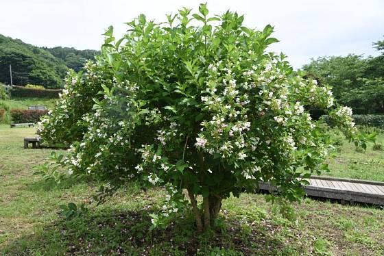 weigelie velkokvětá (Weigela coraeensis)
