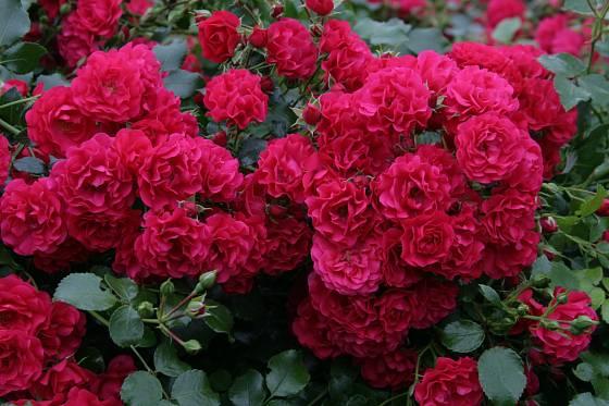 půdopokryvná růže Gärtnerfreude