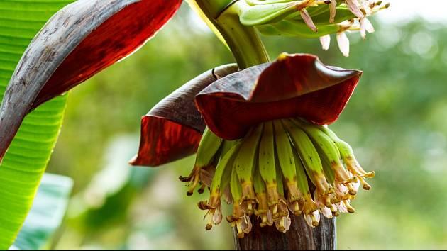 Květenství banánovníku je velmi zvláštní.