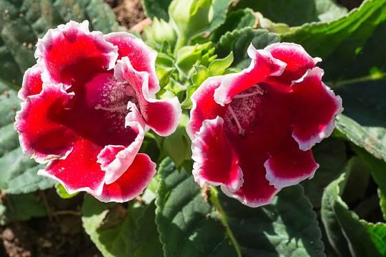 Oblíbené jsou gloxínie (Sinningie) s bíle lemovanými květy.