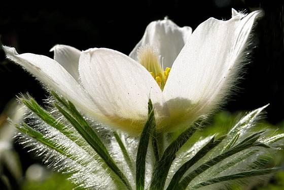 Koniklec bílý (Pulsatilla scherfelii, syn. P. alba)