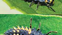 Larva slunéčka sedmitečného (nahoře) a larva slunéčka východního (dole)