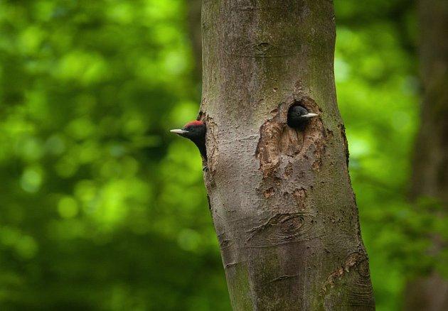 Asi tři týdny stará mláďata vyhlížejí rodiče s potravou z neobvyklé dutiny se dvěma otvory. Bývá na vysokém stromě na holé části kmene bez větví, kde je chráněna před predátory.