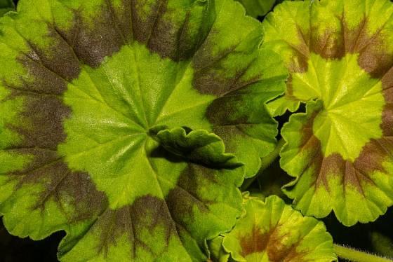 Páskaté pelargonie (Pelargonium zonale) získaly pojmenování podle více či méně nápadného tmavého pruhu na listech.