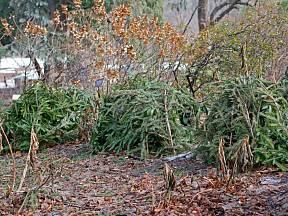 Chvojí chrání choulostivější dřeviny i trvalky