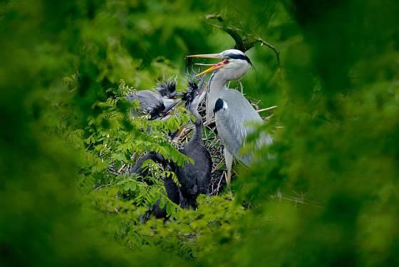 Volavka popelavá - krmení mláďat na hnízdě.