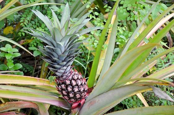 Ananasovník chocholatý (Ananas comosus) se zralým plodenstvím.