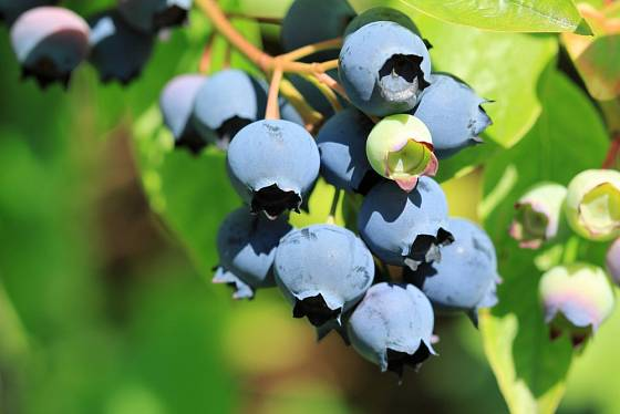 Borůvka chocholičnatá (Vaccinium corymbosum), známá jako kanadská borůvka.