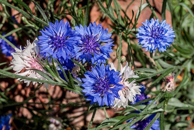 Chrpy jsou krásné a vděčné květiny vhodné i do zahrad pro alergiky.