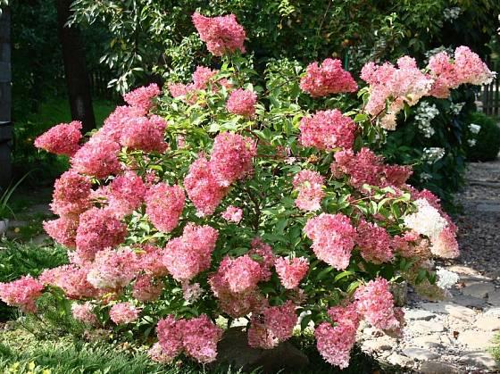 hortenzie latnatá (Hydrangea paniculata)