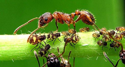 Mravenci a mšice (trofobionti)
