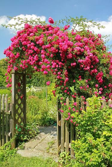 Pnoucí růže typu rambler zdobí zahradní branku