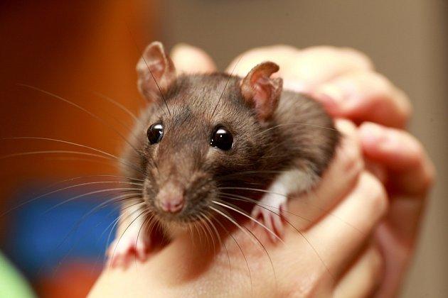 Potkan patří k oblíbeným domácím mazlíčkům.
