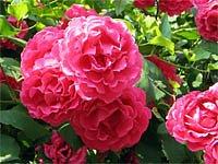 sadové růže