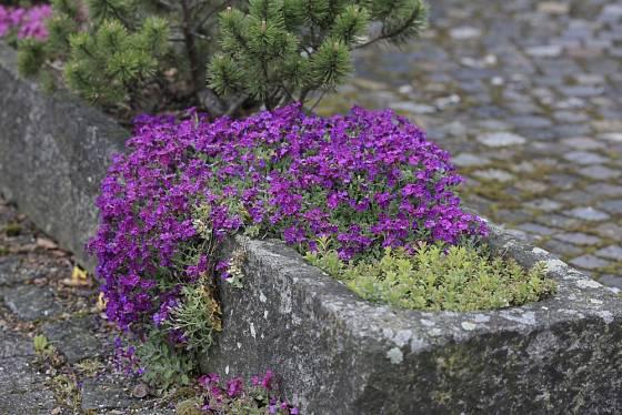 Tařička v kamenném korytě.