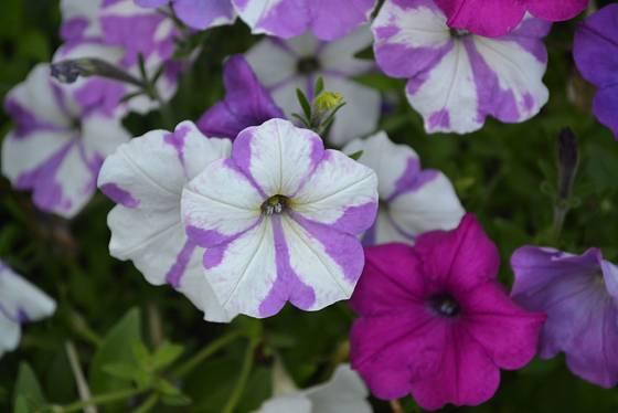 Výběr barev a vzorů květů petúnií je obrovský