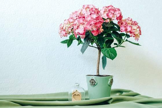 Starší rostliny mohou být zapěstované na kmínku.