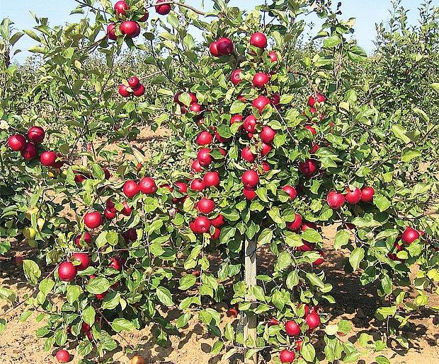 odrůdy jabloní