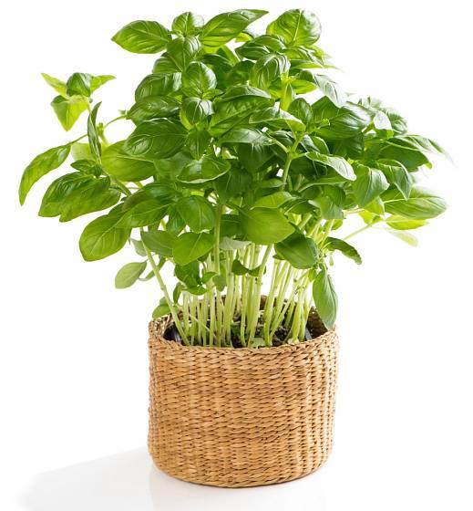 Pro pěstování v košících se dobře hodí i bazalka.