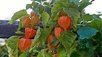 Nejedlá mochyně židovská třešeň (Physalis alkekengi) má oplodí jasně oranžové
