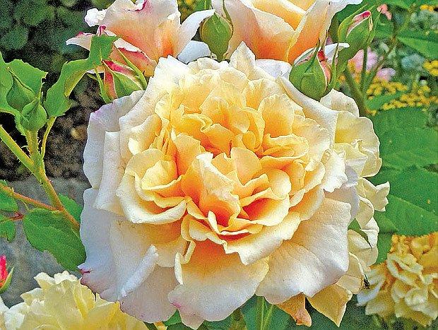 moderní růže