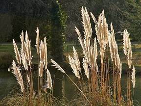 Pampová tráva (Cortaderia)