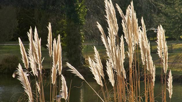 Pampová tráva (Cortaderia)