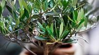 Olivovníky lze u nás pěstovat jako přenosné rostliny