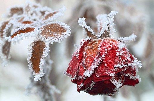 omrzlá růže