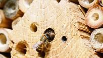 Včelky samotářky, především drvodělky, hnízdí nejraději v otvorech ve dřevě