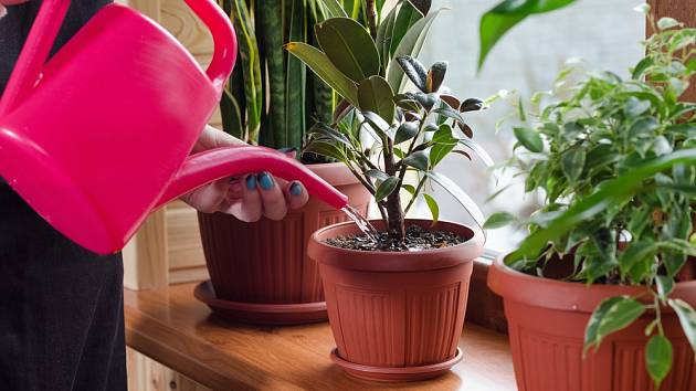 Pokojové rostliny zaléváme podle potřeby.