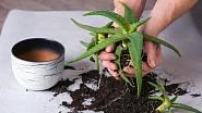 Při přesazování aloe vera použijeme o něco větší průměr květináče.