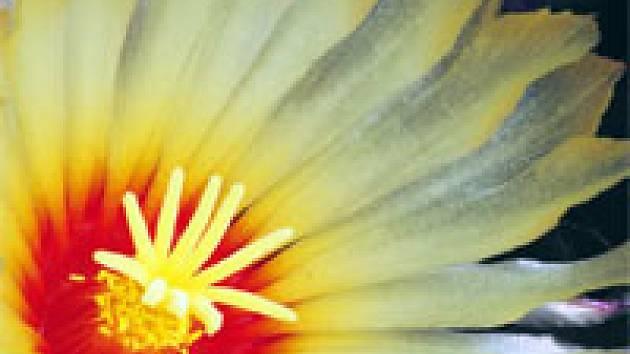 Astrophytum - květ