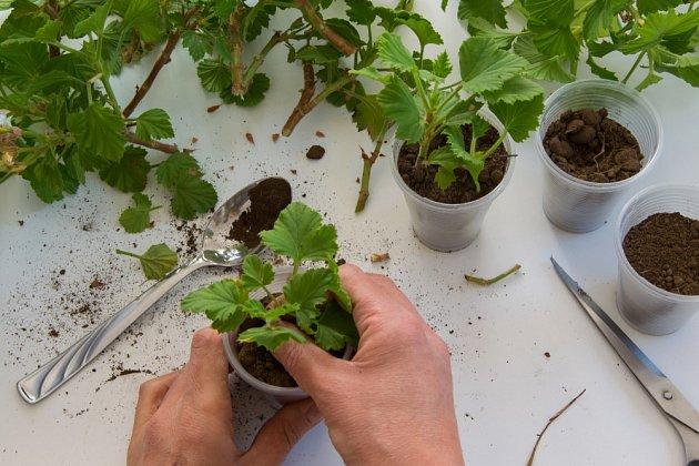 Do hlíny udělejte prstem nebo dřívkem 2-3 cm důlek a opatrně do něj rostlinku vložte.