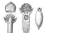 Hřebíčkovec vonný (Caryophyllus aromaticus)