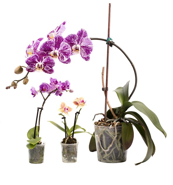 Orchidejím pěstovaným v bytě příliš suchý vzduch nesvědčí.