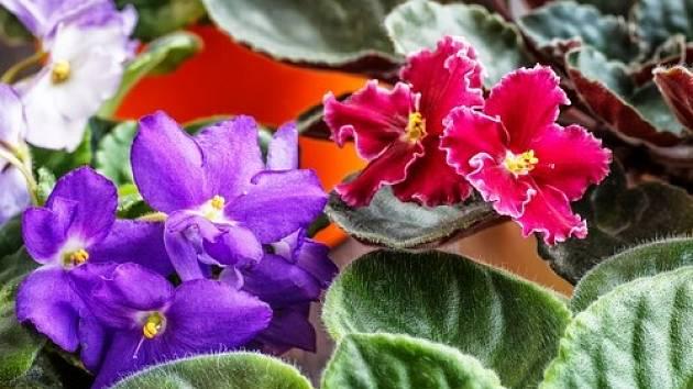 Africká fialka pochází z východní Afriky a díky nenáročnosti na pěstování si získala oblibu po celé Evropě i ve Spojených státech.