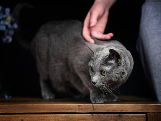 Ruské modré kočky vyžadují pozornost a rády mají pohlazení.