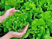 Salát můžete sklízet po celé léto