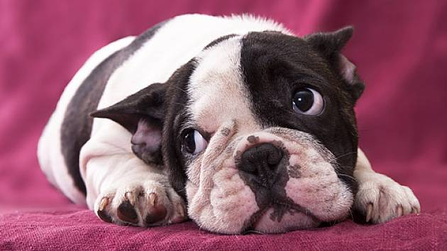 Bulldoggi Rodut