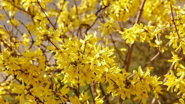 Zlatice (Forsythia) dokáže vytvořit okouzlující živé ploty.