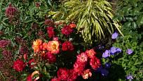 Růže v témže roce po výsadbě: odrůda Firebird kvete dvoubarevně, od svítivě žluté postupně přechází do zářivé červené