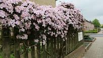 Květy plaménku zdobí dřevěný plot