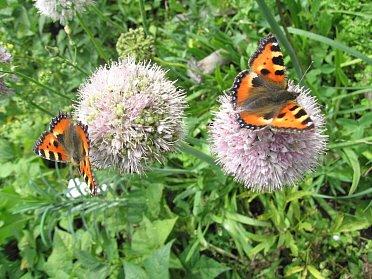 Kvetoucí rostliny lákají motýly