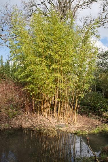 Bambusy se skvěle vyjímají v blízkosti vodních hladin.
