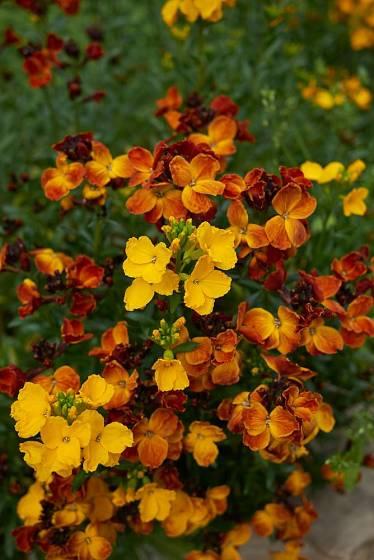 Chejr vonný je dvouletka s nádherně vonnými a nektarodárnými květy teplých barev